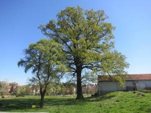 Švehlův dub Hostivař